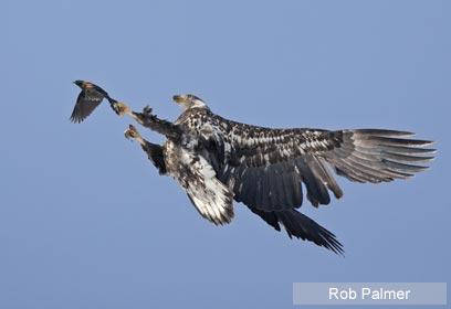 צילום: 2009 Rob Palmer / Veolia Environnement Wildlife Photographer of the Year ©