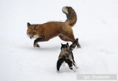צילום: 2009 Igor Shpilenok / Veolia Environnement Wildlife Photographer of the Year 2009 ©