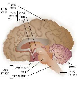 חתך מוח אדם