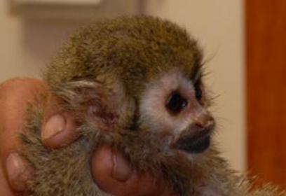 הקופה שהוחרמה. שבה לפארק הקופים בבן שמן (צילום: עדן בן עמי, דוברות מרחב השרון)