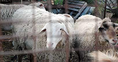 מגניב ביותר כבשים, עזים ומה שביניהם: הכל על חלב צאן PZ-37