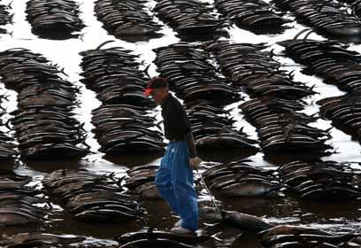 דגי טונה (צילום: AP)
