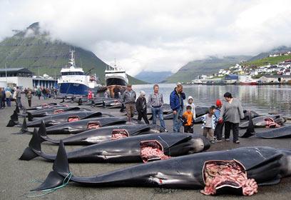 צילום: Peter Hammarstedt ,Sea Shepherd