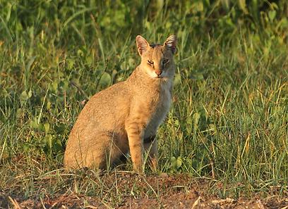 חתול ביצות באיזור הצפון (צילום: איתן קאופמן)
