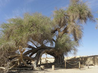 עץ השיזף העתיק בארץ. עיר אובות (צילום: דר' ירון זפרן)