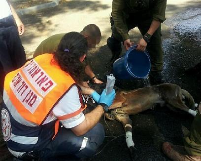 """הפרמדיק צורי נבות והחיילים מטפלים בכלב, השבוע. (צילום: שמעון צ'רלי וטל טולדנו דוברות מד""""א)"""