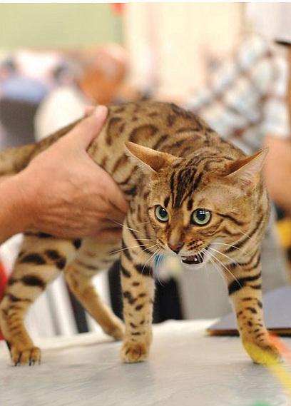 מפואר חתולים בנגליים: מסע בעקבות חברבורות LQ-77