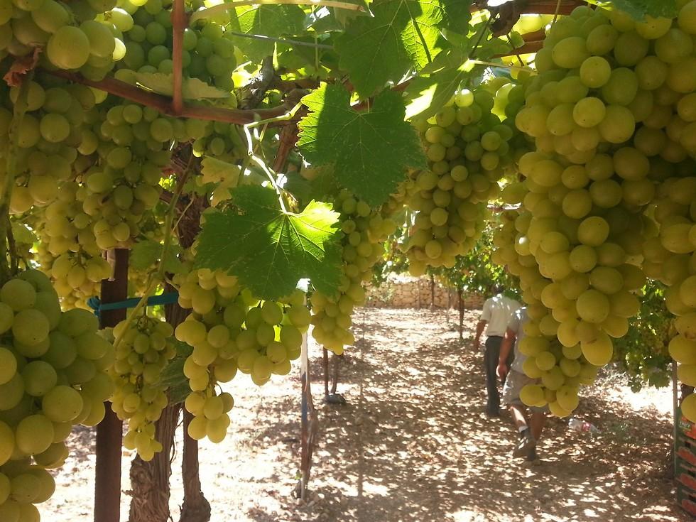מעולה לא רק קברנה סוביניון: זני העתיד של ענבי היין FU-18