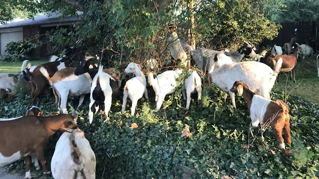 תוספת פלישה לשכונה באיידהו – של עזים. צפו VC-65