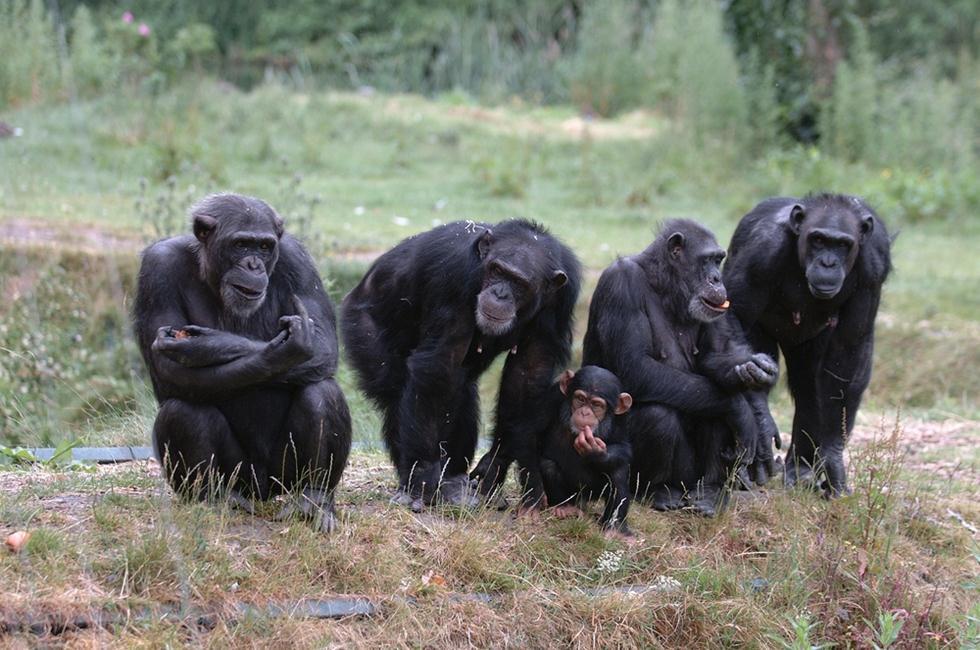 משפחת שימפנזים (צילום: shutterstock)