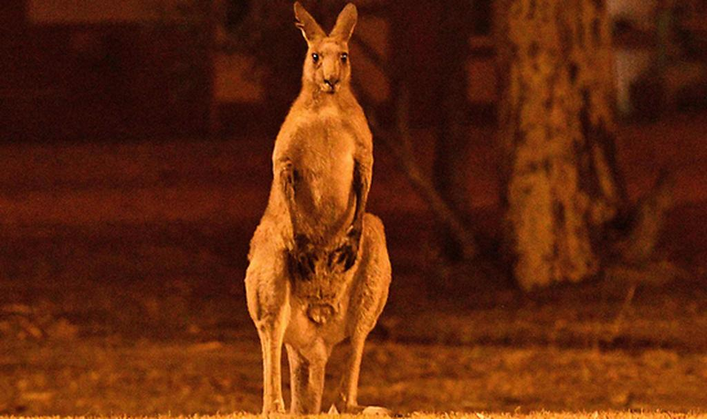 A kangaroo stands at a field illuminated by wildfires in Australia  (Photo: AFP)