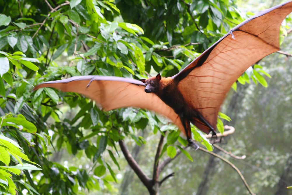 עטלף (shutterstock)