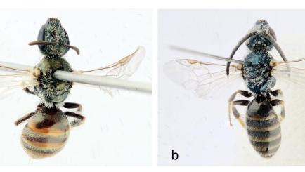 צילום: Belgian Journal of Entomology, Alain Pauly