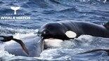 צילום: אגודת שומרי הלווייתנים במערב אוסטרליה